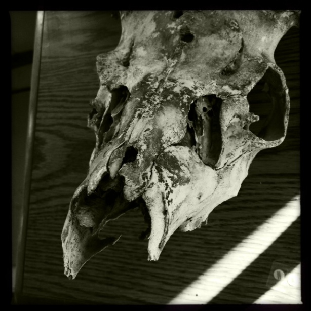 Rancho Los Encinos Skull